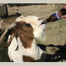 A Drinking Goat